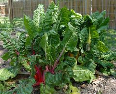 vegie-garden
